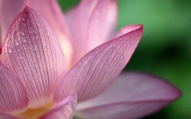 pink-lotus-flower-flowers-desktop-picture
