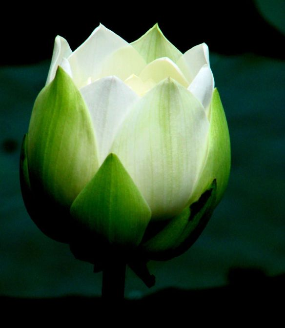 lotus alb