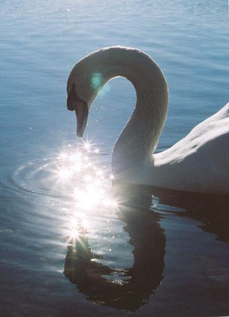 SwanMagic01